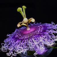 Passiflora Incarnata by Shreyas