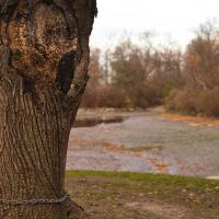 Chained Tree, Near Niagara Falls by jctodd