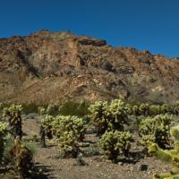 Teddy-bear Cactus, Eldorado Canyon, Nevada by jctodd