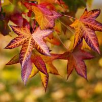 Sweet Gum Leaf In Fall In Ky by hdrmd