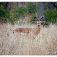 Sabi Sabi Kudu by GrahamWelland