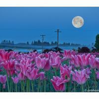Woodland Tulips & Moonrise by GrahamWelland