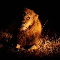 Chiaroscuro Lion by GrahamWelland in GrahamWelland