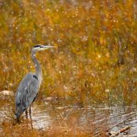 Heron In Snow by GrahamWelland
