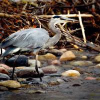 Heron Fishing by GrahamWelland in GrahamWelland
