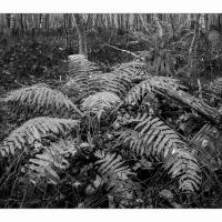 Acadia-fern-b W-1k-framed