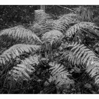 Acadia-fern-b W-ii-1k-framed by GrahamWelland in Regular Member Gallery