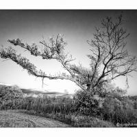 Loxahatchee Wildlife Refuge Ir Tree by GrahamWelland