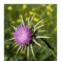 California Thistle by GrahamWelland