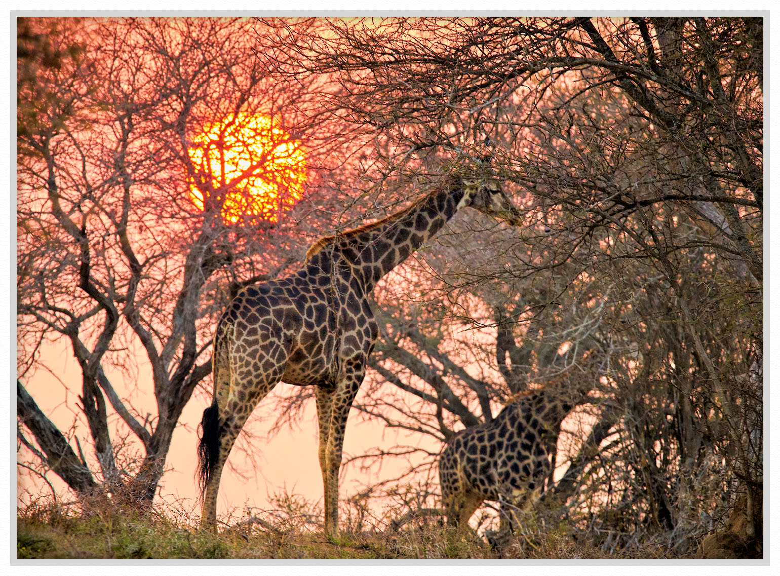 giraffe dawn sunrise iia 1500 framed by GrahamWelland in GrahamWelland