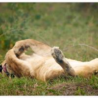 just-lioning-around by GrahamWelland