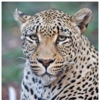 leopard-stare-with-tail by GrahamWelland in GrahamWelland