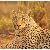 leopard gaze by GrahamWelland in GrahamWelland