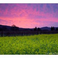 Napa Valley Mustard & Sunrise