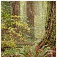 redwood-trees-nov-22-2k-framed by GrahamWelland in GrahamWelland
