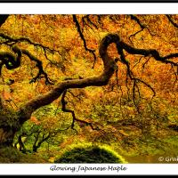 Maple - Japanese Garden, Portland by GrahamWelland
