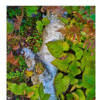 birch by Bill Caulfeild-Browne in Regular Member Gallery