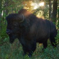 Bison by gnik in Regular Member Gallery