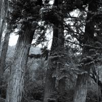 Spruce Trees by tiffinjohnson