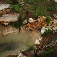 Tiger by ark8012 in Regular Member Gallery