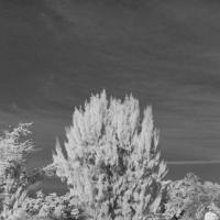 Infrared Pine by etrigan63 in Regular Member Gallery