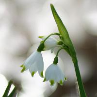 Leucojum by Quentin_Bargate in Regular Member Gallery