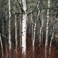 Ghosts-aspens New-sharp by JimCollum in Jim Collum
