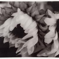 Platinum Sunflower 01