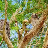 Tawny Frogmouth Pair by monk