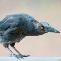 Mother of Teenage Currawong by monk
