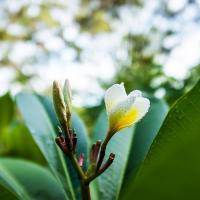 Dewdrop Plumeria by monk in Regular Member Gallery