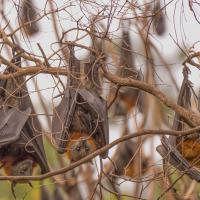 Flying Foxes by monk