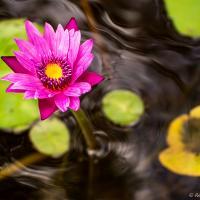 Queensland Water Lillies by monk in Regular Member Gallery