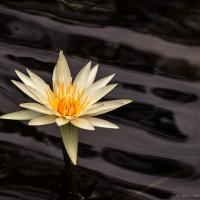 Queensland Water Lillies by monk