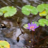 Lotus & Bud by monk