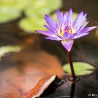 Queensland Lotus by monk in Regular Member Gallery