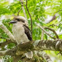 Ollie Jr, Baby Kookaburra, Out For Christmas. by monk