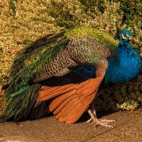 Peacock & Shrub by monk in Regular Member Gallery