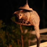 Possum Supper by monk in Regular Member Gallery
