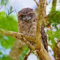 Tawny Frogmouth 1 by monk in Regular Member Gallery