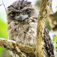 Tawny Frogmouth 2 by monk in Regular Member Gallery