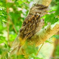 Tawny-frogmouth 3 by monk in Regular Member Gallery