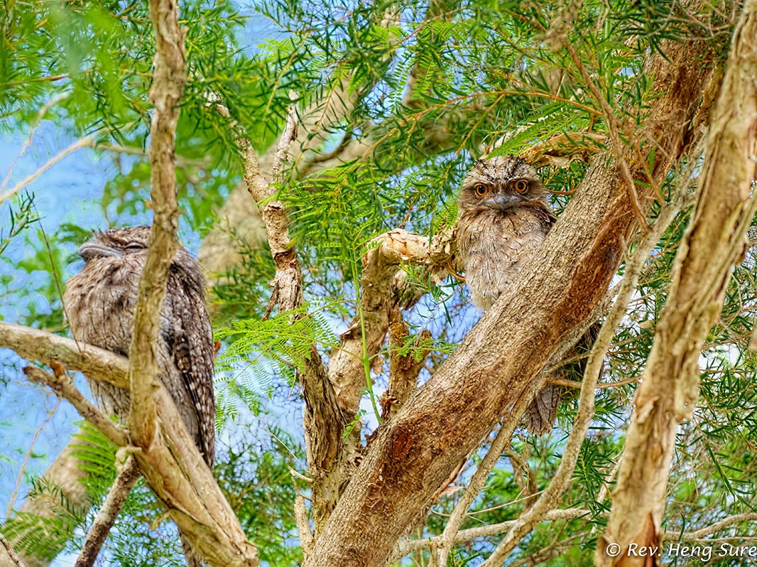 Tawny Frogmouth Pair by monk in Regular Member Gallery