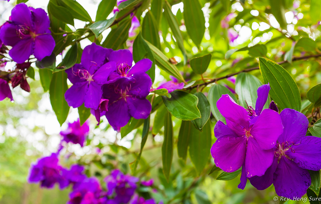 Tibouchina by monk in Regular Member Gallery