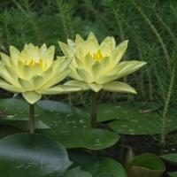 Two Yellow Lotuses by monk