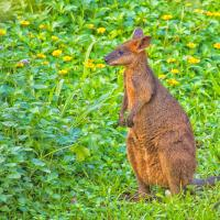 Morning Wallaby by monk