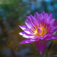Water Lilly01 by monk in Regular Member Gallery
