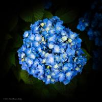 Blue Hydrangea by dave.gt in dave.gt