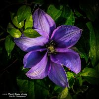 First Clematis April 2019 with D850 by dave.gt in dave.gt