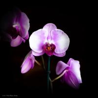 An Orchid a Day... by dave.gt in dave.gt